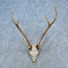 Axis Deer Skull Antler European Mount For Sale #15513 @ The Taxidermy Store