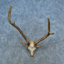 Axis Deer Skull Antler European Mount For Sale #15516 @ The Taxidermy Store