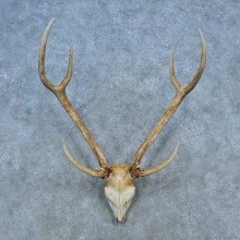 Axis Deer Skull Antler European Mount For Sale #15517 @ The Taxidermy Store