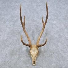 Axis Deer Skull & Antler European Taxidermy Mount For Sale