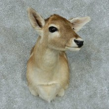 Axis Deer Doe Taxidermy Shoulder Mount #13441 For Sale @ The Taxidermy Store