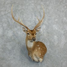 Axis Deer Taxidermy Shoulder Mount For Sale