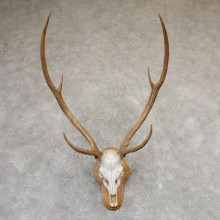 Axis Deer Skull & Horn European Mount For Sale #19019 @ The Taxidermy Store