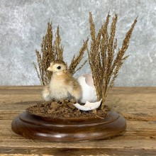 Baby Chicken Bird Mount For Sale #22476 @ The Taxidermy Store
