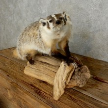American Badger Life-Size Mount For Sale #17219 @ The Taxidermy Store