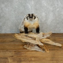 American Badger Life-Size Mount For Sale #17844 @ The Taxidermy Store