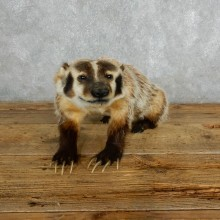 Badger Life-Size Mount For Sale #18006 @ The Taxidermy Store
