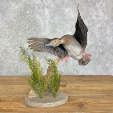 Ringed Teal Duck Bird Mount For Sale #21998 @ The Taxidermy Store