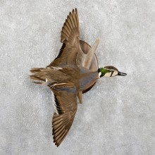 Baikal Teal Duck Bird Mount For Sale #19406 @ The Taxidermy Store