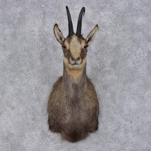 Balkan Chamois Shoulder Taxidermy Mount #12463 For Sale @ The Taxidermy Store