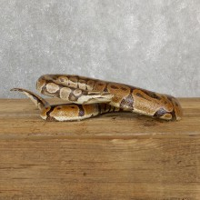 Ball Python Snake Mount For Sale #19664 @ The Taxidermy Store