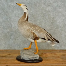 Bar Headed Goose Taxidermy Bird Mount For Sale