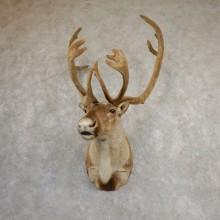 Central Canada Barren Ground Caribou Taxidermy Shoulder Mount For Sale