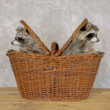 Basket Raccoons Novelty Taxidermy Mount For Sale