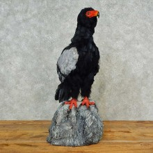 Reproduction Bateleur Eagle Taxidermy Bird Mount For Sale