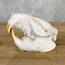 Beaver Skull Mount For Sale #22394 @ The Taxidermy Store