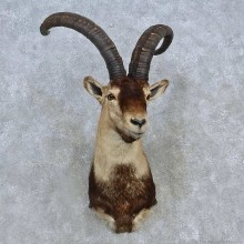 Beceite Ibex Taxidermy Shoulder Mount For Sale