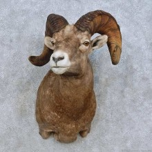 Bighorn Sheep Taxidermy Shoulder Mount For Sale