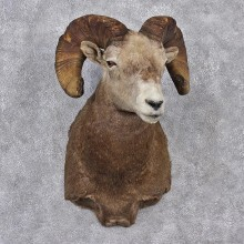 Bighorn Sheep Shoulder Taxidermy Head Mount #12515 For Sale @ The Taxidermy Store