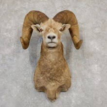 Bighorn Sheep Shoulder Mount For Sale #19987 @ The Taxidermy Store