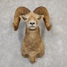 Bighorn Sheep Ram Head Taxidermy Shoulder Mount For Sale