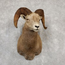 Bighorn Sheep Shoulder Mount For Sale #19988 @ The Taxidermy Store