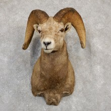 Bighorn Sheep Shoulder Mount For Sale #19989 @ The Taxidermy Store