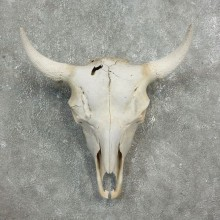 Buffalo Bison Skull Mount For Sale #17681 @ The Taxidermy Store