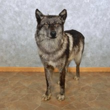 Alaskan Black Wolf Life-Size Mount For Sale #15026 @ The Taxidermy Store