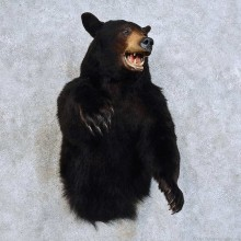Black Bear 1/2 Life Size Mount For Sale #15869 @ The Taxidermy Store