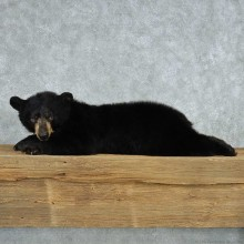 Laying Black Bear Cub Taxidermy Mount For Sale