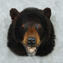 Black Bear Shoulder Mount #13745 For Sale @ The Taxidermy Store