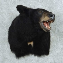 Black Bear Shoulder Mount