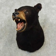 Black Bear Shoulder Mount For Sale #11245 @ The Taxidermy Store