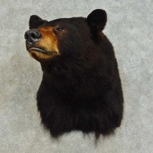 Black Bear Shoulder Mount For Sale #16386 @ The Taxidermy Store