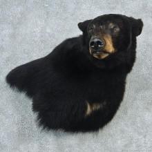 Black Bear Shoulder 'Wall Pedestal' Mount