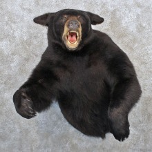 Black Bear Half Life Size Shoulder Taxidermy Mount #10415 For Sale @ The Taxidermy Store