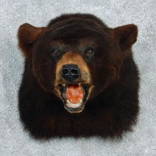 Black Bear Taxidermy Shoulder Mount #12959 For Sale @ The Taxidermy Store