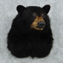 Black Bear Taxidermy Shoulder Mount #12960 For Sale @ The Taxidermy Store
