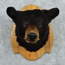 Black Bear Taxidermy Head Mount #12962 For Sale @ The Taxidermy Store