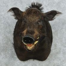Black Boar Shoulder Mount