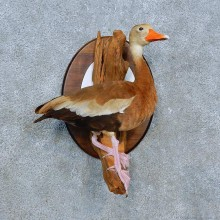 Black Bellied Whistling Duck Bird Mount For Sale #15547 @ The Taxidermy Store