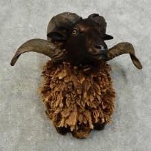 Black Hawaiian Ram Taxidermy Shoulder Mount For Sale