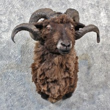 Black Coriscan Ram Mount #11550 - For Sale - The Taxidermy Store