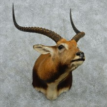 African Black Lechwe Shoulder Mount