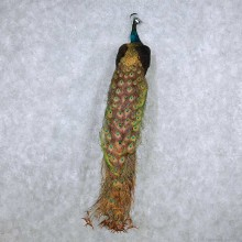 Black Indian Peacock Taxidermy Mount For Sale