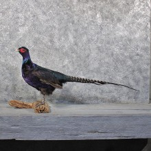 Black Green Pheasant Mount #11734 For Sale @ The Taxidermy Store