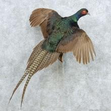 Flying Black Pheasant