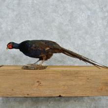 Standing Black Pheasant
