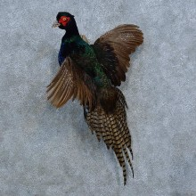 Black Pheasant Bird Mount For Sale #15420 @ The Taxidermy Store